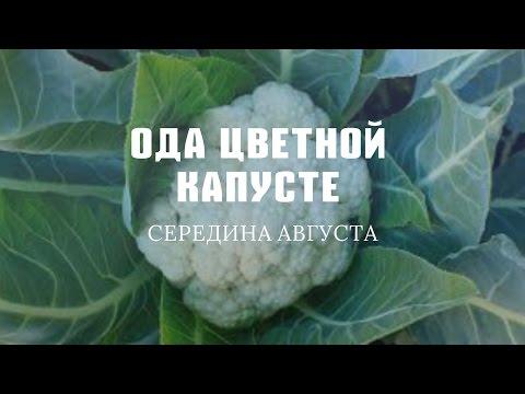 Квашеная капуста - Рецепт с фото на Готовим дома