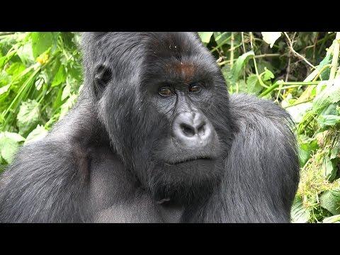 Mountain Gorilla Trekking, Virunga NP, DR Congo in 4K Ultra HD