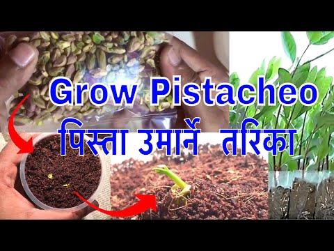 Grow Pistachio Plant Form Grocery