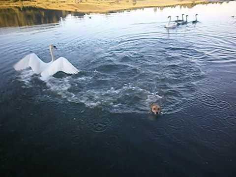 Лебедь наказывает собаку