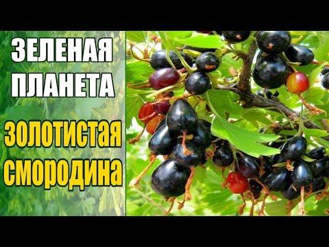 Золотистая смородина выращивание / Как посадить смородину весной