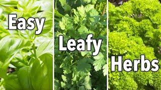 Easy Herbs for Beginners – Basil, Cilantro \u0026 Parsley