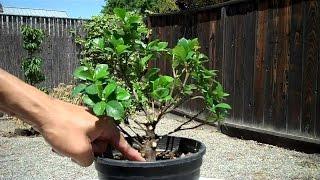How To Shape A Gardenia Bonsai Youtube