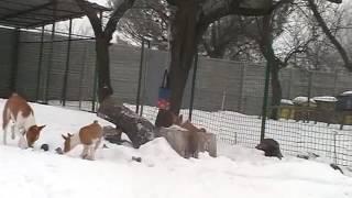 Басенджи зимой) африканские собаки......? нет не слышали))))