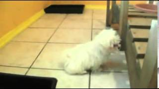 Adorable Tiny Maltese Girl WITH POTTY TRAINING!