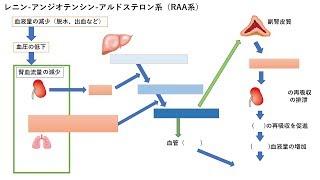 【重要】レニン・アンジオテンシン・アルドステロン系(RAA系)の生理反応の機序