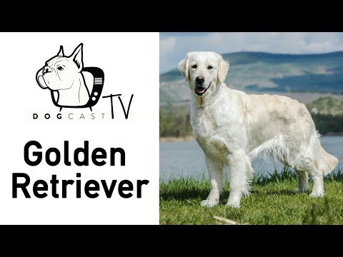A Golden Retriever kutya fajta - DogCast TV S02E08
