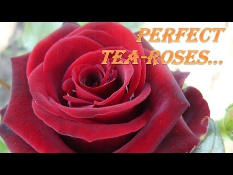 Красивые Розы - лучшие фото розы под прекрасную музыку!