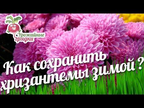 Как сохранить хризантемы зимой? Уход за хризантемой #urozhainye_gryadki