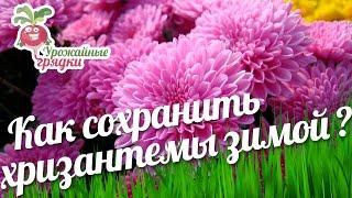 Как сохранить хризантемы зимой? Уход за хризантемой #urozhainye_gryadki(Хризантемы достаточно зимостойкие, но у них есть слабые места. Если неправильно укрыть хризантемы, на них..., 2016-09-27T12:00:03.000Z)