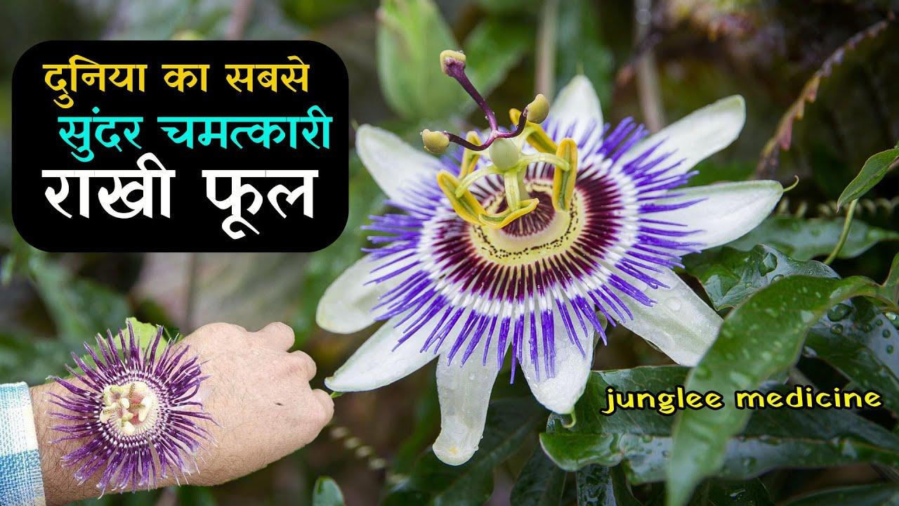 चमत्कारी राखी फूल  [कृष्ण कमल] के औषधिय फायदे और पहचान/Passiflora foetida