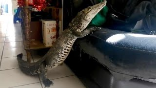 Sleepy Pet Crocodile Has Afternoon Nap On Sofa