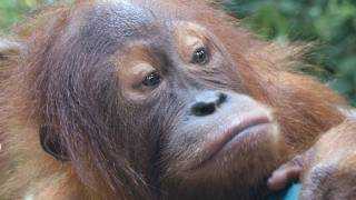 The last rain forests of Sumatra - Interview with Peter Pratje, FZS