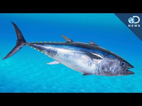 An Unusual Way To Save The Bluefin Tuna!