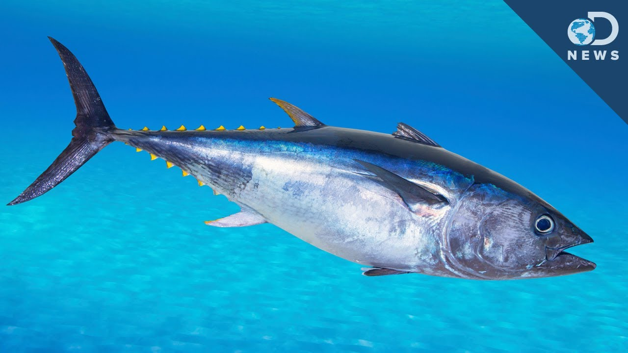 An Unusual Way To Save The Bluefin Tuna! - YouTube