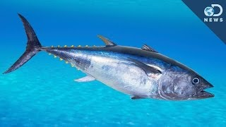 An Unusual Way To Save The Bluefin Tuna!