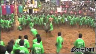 Trichy Suriyur Jallikattu Video News in Dinamalar Tamil Video dated Jan 15th 2014