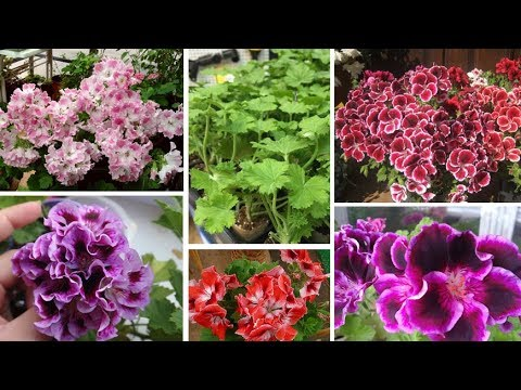 Королевские пеларгонии необычных расцветок