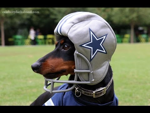 Crusoe the Dachshund - Dallas Cowboys Football Practice ...