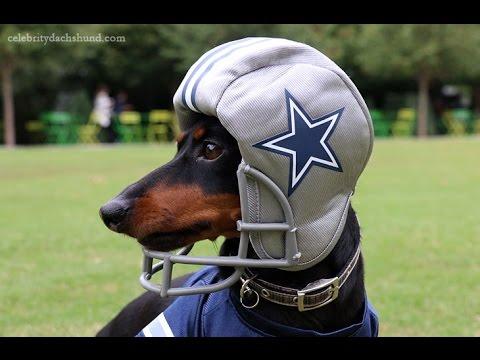 Crusoe the Dachshund - Dallas Cowboys Football Practice ...