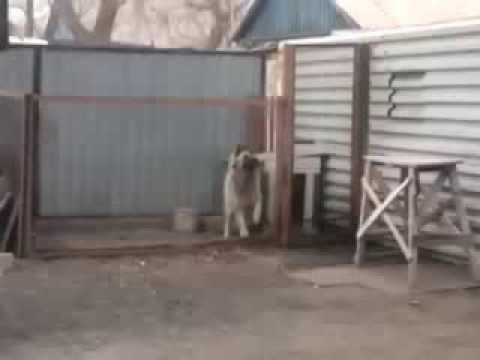 смешное видео собаки танцуют