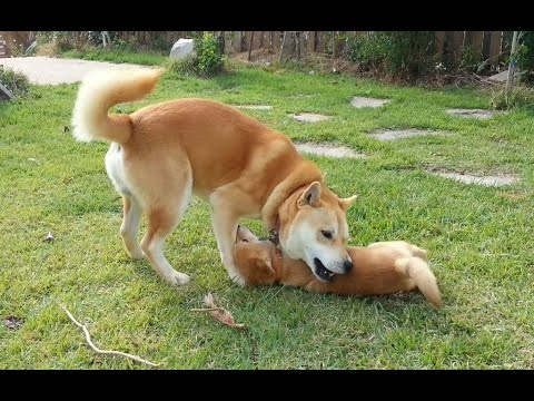 [24] 파양되어 집에 돌아온 진돗개 강아지, 가슴 찡해지는 부자상봉 / Baby dog come back home  dad
