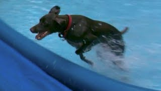 German Shorthaired Pointer Dog Running Through Pool