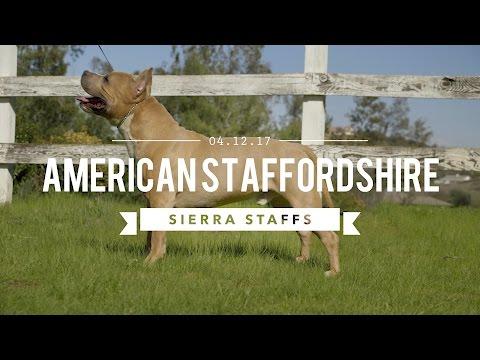 AMERICAN STAFFORDSHIRE TERRIER LEGENDARY SIERRA STAFFS