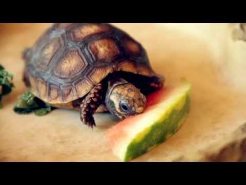 Cute tortoise eating watermelon youtube - Cute turtle pics ...
