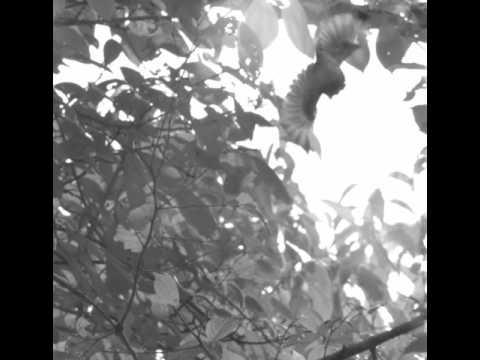 African Broadbill display in high-speed
