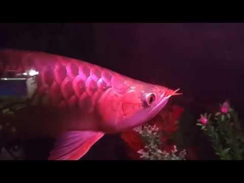 ปลามังกรแดงหางเพชร 4x300 บังแระ