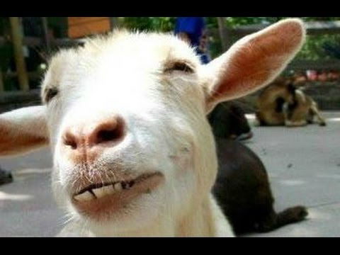 kambing lucu  sebuah video kambing lucu kompilasi  Baru