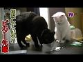 先輩黒猫の行動をマネた妹猫、その結果…(面白い&可愛い猫)