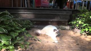 Невский маскарадный котенок Ulrich HAKUNA MATATA 2