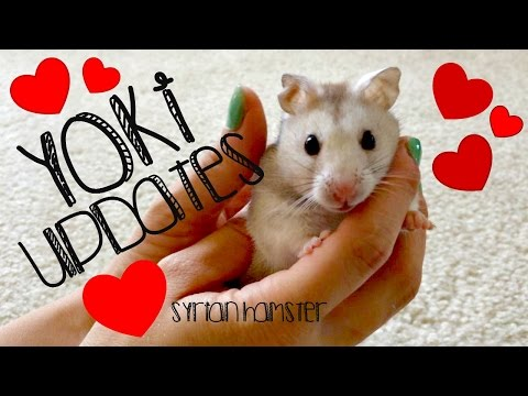 Yoki Updates! (Syrian Hamster)