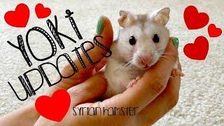 Yoki Updates! (Syrian Hamster) Thumbnail