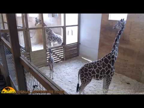 Thumbnail: Tuesday Giraffe Cam (5-16-17)