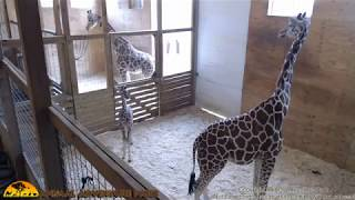 Tuesday Giraffe Cam (5-16-17) thumbnail