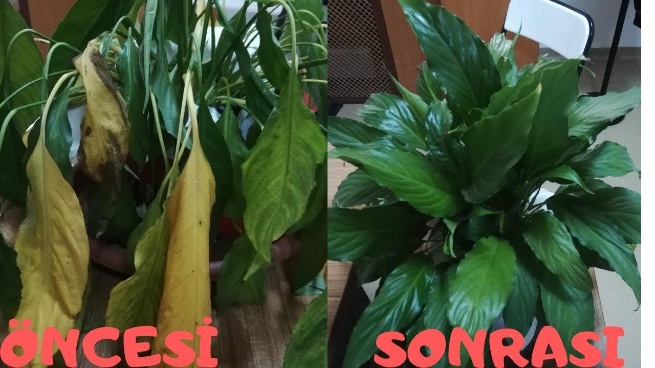 Spathiphyllum Barış Çiçeğindeki( Peace Lily (Spathiphyllum) İnanılmaz Değişim