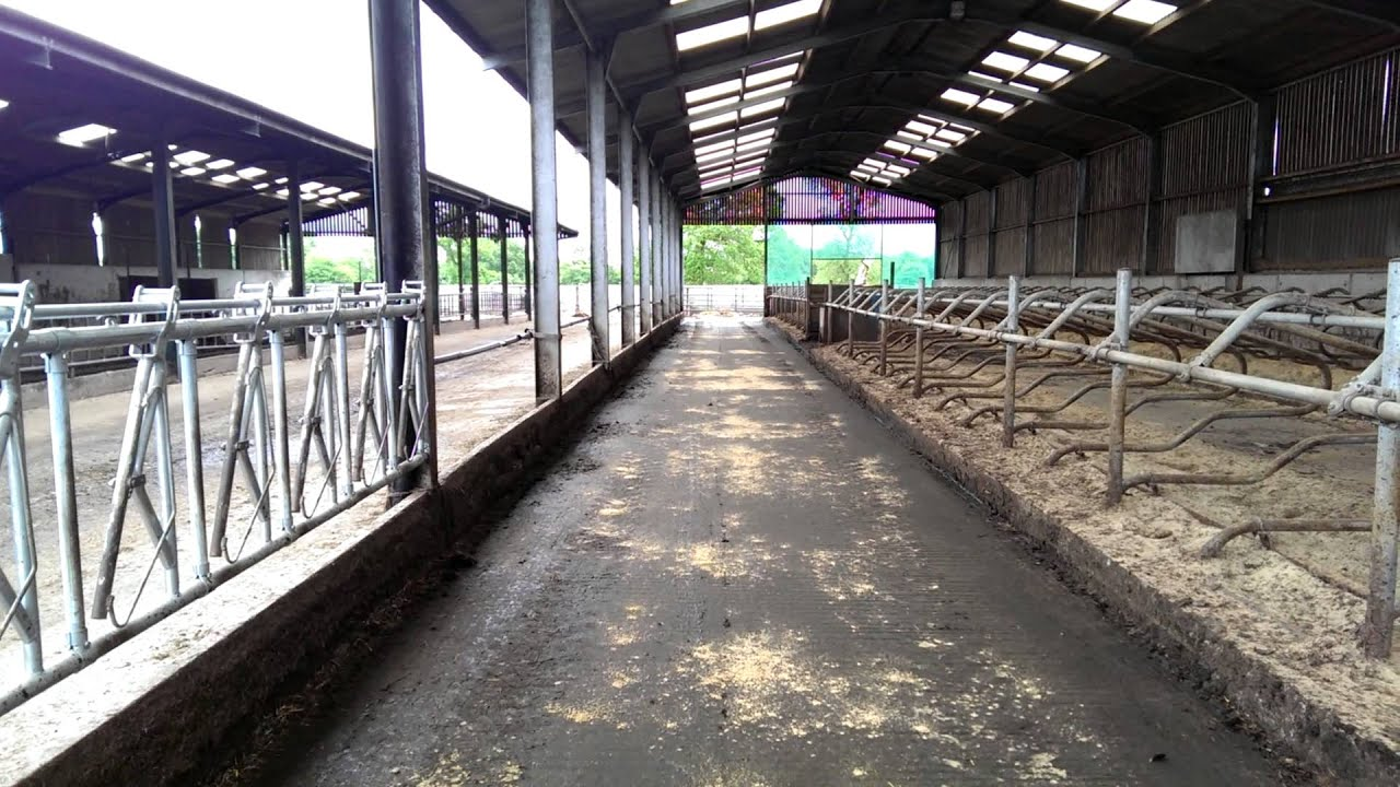 Simple Dairy Cow Sand Cubicle Shed Youtube