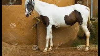 घोड़ी के किया ऐसा काम देखे ये वीडियो   Horse Story