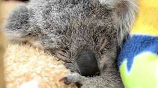 New koala chlamydia vaccine project trialed at Australia Zoo Wildlife Hospital