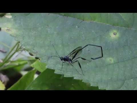 Pelecinid Wasp -