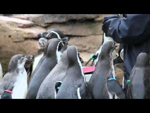 Woodland Park Zoo - Penguin Feeding Time