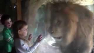ライオンvs無敵少女!!!ライオンはブチキレwww.