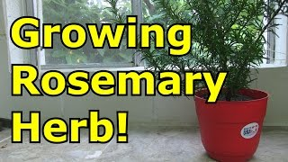 [5.90 MB] How to Grow Rosemary in a Pot