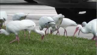 beautiful white ibis in florida