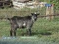 Что делать с дойным козлом?
