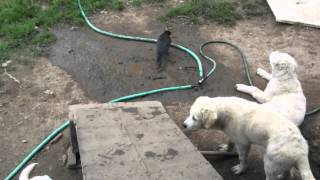 Crow and Livestock Guardian Dog puppies - Old Man Farm