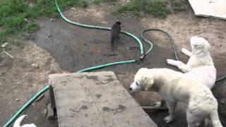 Crow and Livestock Guardian Dog puppies - Old Man Farm